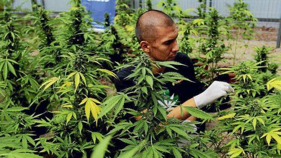 El debate correcto sobre marihuana medicinal: principio de lesividad, derechos fundamentales y acceso a la salud