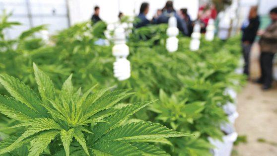 """Debate por ley de """"cultivo seguro"""": crítica al uso de neuroimágenes en la controversia sobre el cannabis"""