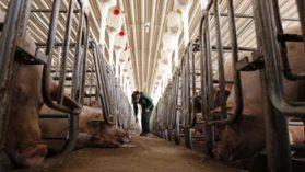 Freirina: dos nuevos estudios cuestionan calidad de las aguas que beben los cerdos de Agrosuper