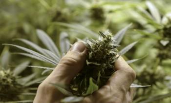 cannabis-2-1