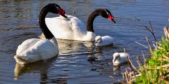 cisnes-cuello-negro